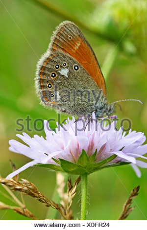 Chestnut Heath, Coenonympha glycerion on pink scabious - Stock Photo