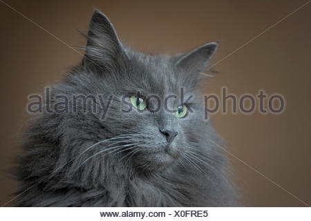 Norwegian Forest Cat, blue, male, pure breed, portrait - Stock Photo
