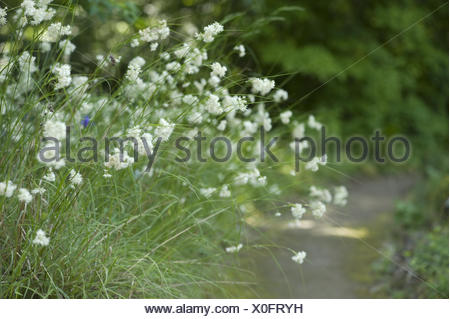 lesser wood-rush, luzula nivea - Stock Photo