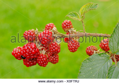 Blackberry (Rubus fruticosus), branch with fruits, North Rhine-Westphalia - Stock Photo
