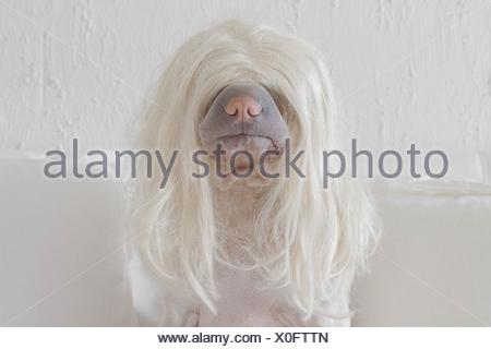 Dog wearing a long blonde wig - Stock Photo