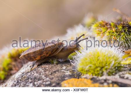 Lapidary snail (Helicigona lapicida, Chilotrema lapicida, Latomus lapicida), creeps on a rock with moss, Germany, Bavaria, Niederbayern, Lower Bavaria - Stock Photo