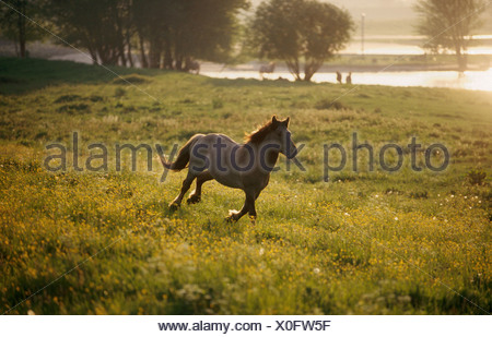 Konik horse galopping on meadow - Stock Photo