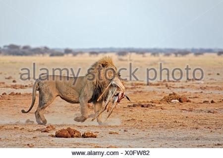 Lion, male (Panthera leo) with a killed springbok, (Antidorcas marsupialis), Nxai Pan, Makgadikgadi Pan National Park, Botswana - Stock Photo
