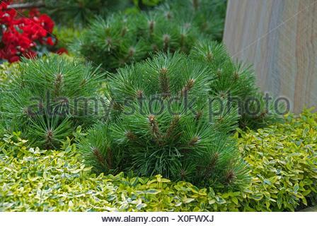 European black pine, Austrian pine, Black Pine, Corsican Pine (Pinus nigra 'Helga', Pinus nigra Helga), cultivar Helga - Stock Photo