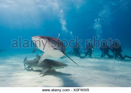 Scuba Diver watching Tiger Shark, Galeocerdo cuvier, Caribbean Sea, Bahamas - Stock Photo