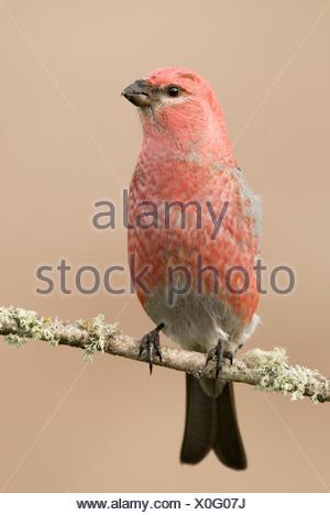An Pine Grosbeak (Pinicola enucleator) sitting on a branch - Stock Photo