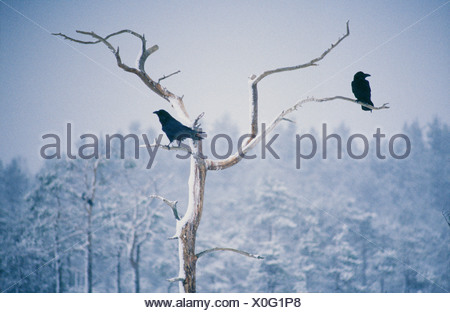 Two ravens perching on bare tree - Stock Photo