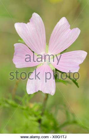 Greater Musk-mallow, Cut-leaved Mallow, Vervain Mallow or Hollyhock Mallow (Malva alcea), flowering, North Rhine-Westphalia - Stock Photo