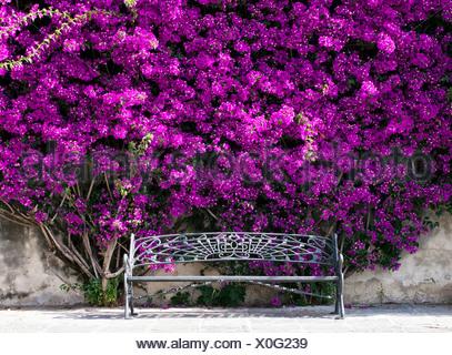 Bench under a bush of Bougainville (Bougainvillea) - Stock Photo