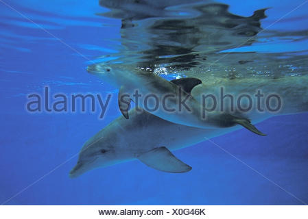 Bottlenose Dolphin, tursiops truncatus, Mother and Calf - Stock Photo