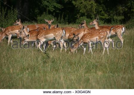 Fallow Deer (Dama dama), herd of does in summer - Stock Photo