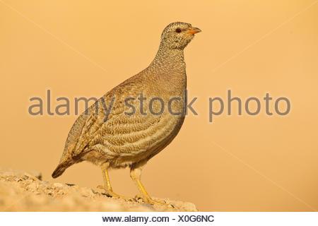 Female Sand Partridge - Stock Photo