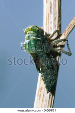 Broad bodied chaser dragonfly emerging from nymph {Libellula depressa} sequence 1/6 - Stock Photo