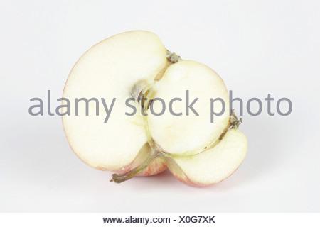 Malus domestica, apple tree - Stock Photo