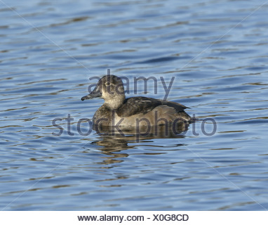 Ring-necked Duck Aythya collaris - Female first winter - Stock Photo