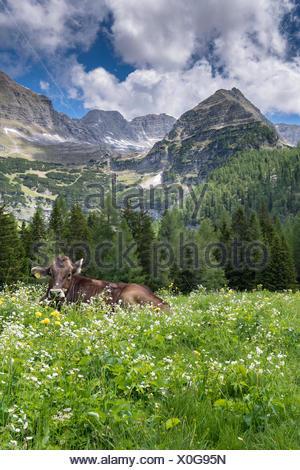 Cow in flower meadow, Wurzeralm, Warscheneck, Upper Austria, Austria - Stock Photo