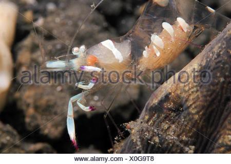 Magnificent Partner Shrimp - Stock Photo