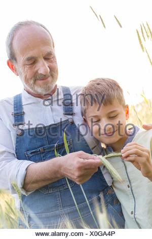 Grandfather farmer showing grandson wheat stalk