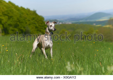 Whippet standing in meadow - Stock Photo