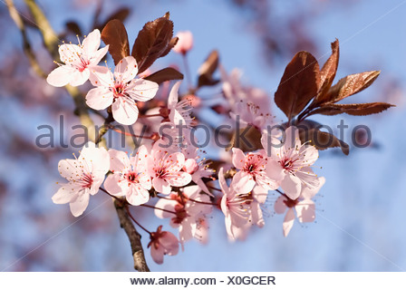 Prunus cerasifera 'Nigra' , Cherry plum, Abundant flowering blossom with small pink flowers. - Stock Photo