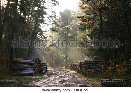 Douglas fir (Pseudotsuga menziesii), pile of wood of Douglas firs and pines at a forest road in winter, Germany, Lower Saxony - Stock Photo