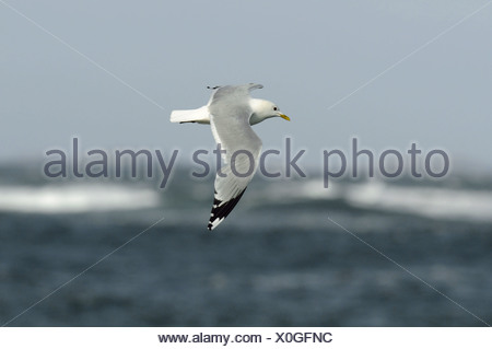 Common Gull Larus canus - Stock Photo