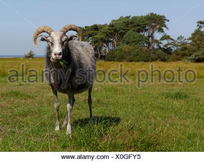 gotland sheep on utlängan, blekinge län, sweden - Stock Photo