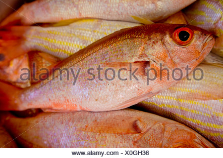 Freshly caught red snapper in Tobago. - Stock Photo
