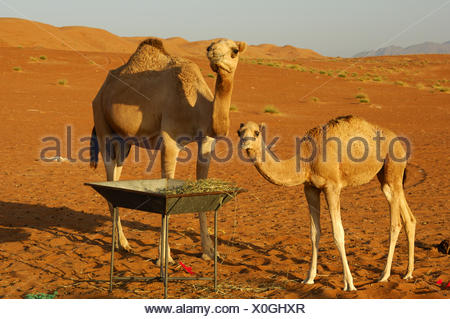 Female dromedary with a foal at a fodder place - Stock Photo