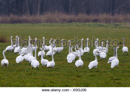 Bewick's Swan, Tundra Swan (Cygnus bewickii, Cygnus columbianus bewickii). Group standing on a meadow. Germany - Stock Photo