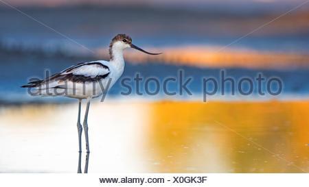 Pied Avocet (Recurvirostra avosetta),young bird in shallow water,feeding,Lake Neusiedl,Austria - Stock Photo