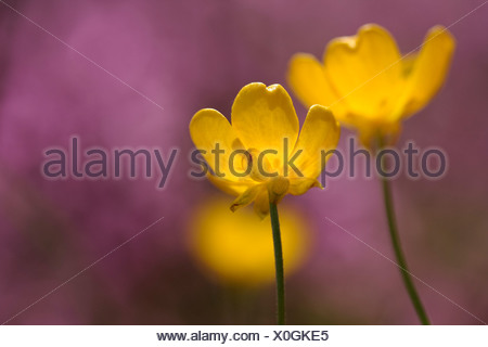 Meadow buttercup or tall buttercup (Ranunculus acris), flowers - Stock Photo