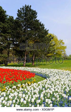 Bed of tulips in Killesbergpark, Stuttgart, Baden-Wuerttemberg ...