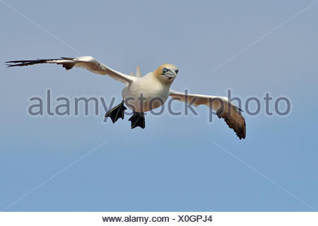 Northern Gannet (Sula bassana), Heligoland, Schleswig-Holstein, Germany - Stock Photo