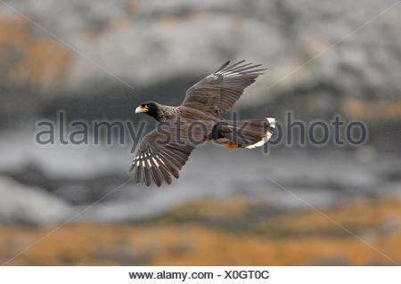 Striated Caracara Phalcoboenus australis New Is Falklands - Stock Photo