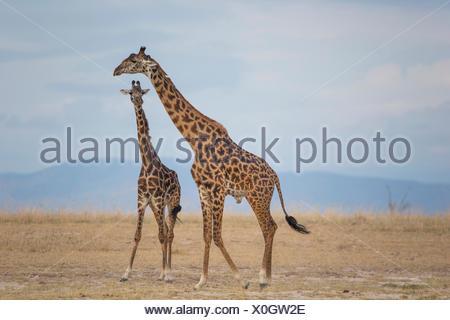Masai Giraffe (Giraffa camelopardalis tippelskirchi) Couple standing savannah Amboseli National Park Kenya - Stock Photo