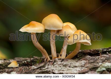 Hypholoma-species of fungus, Vancouver Island, British Columbia, Canada. - Stock Photo
