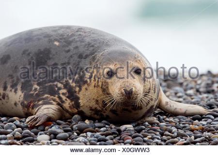 Grey seal (Halichoerus grypus) lying on beach, male, Heligoland, Schleswig-Holstein, Germany - Stock Photo