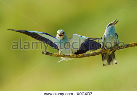 European roller (Coracias garrulus), male landing on a branch beside a female, Bulgaria - Stock Photo
