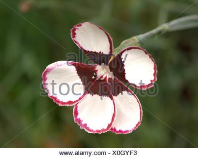 Dianthus plumarius Elizabethan Pink - Stock Photo
