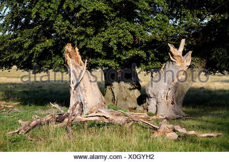 Beeches, trunks, old, broken, - Stock Photo