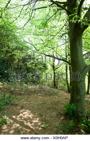 Tree in woodland at The Larches Kent Wildlife Trust UK - Stock Photo