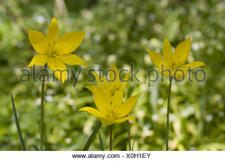 wild tulip, tulipa sylvestris - Stock Photo
