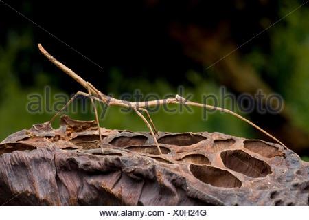 Giant Green Stick Bug (Tirachoidea biceps), on a fruit - Stock Photo
