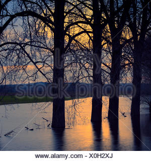 Canadian poplars (Populus x canadensis), trees in water, Wesel, North Rhine-Westphalia, Germany - Stock Photo