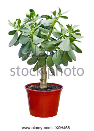 houseplant Crassula in red pot - Stock Photo