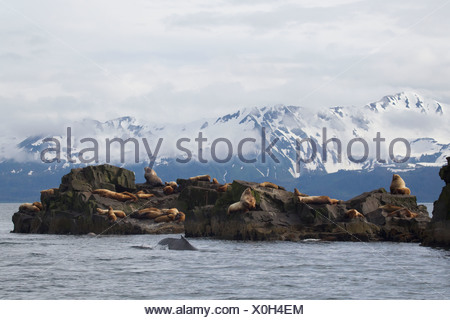 Steller sea lions hauled out at at The Needle with a Humpback whale surfacing in the foreground, Prince William Sound, Alaska - Stock Photo
