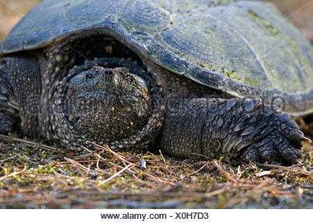 Close-up of snapping turtle (Chelydra serpentina) sitting comfortably on the trail, unwilling to move, Atikokan, Ontario, Canada - Stock Photo
