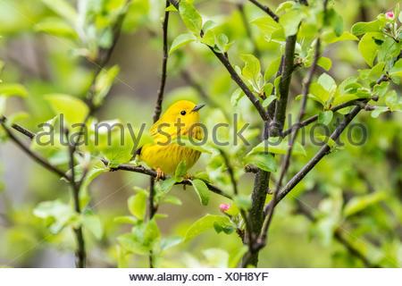 Male Yellow Warbler (Setophaga petechia) in apple blossoms, Cudia Park, Toronto, Ontario, Canada, - Stock Photo